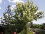 Silbereschen Ahorn, 40-60 cm, Acer negundo 'Variegatum', Containerware