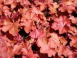 Silberglöckchen 'Fire Chief', Heuchera micrantha 'Fire Chief', Topfware