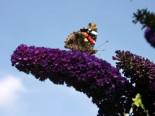 Sommerflieder / Schmetterlingsstrauch 'Black Knight', 40-60 cm, Buddleja davidii 'Black Knight', Containerware