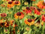 Sonnenbraut 'Mardi Gras', Helenium x cultorum 'Mardi Gras', Topfware