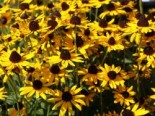 Sonnenhut 'Little Gold Star' ®, Rudbeckia fulgida 'Little Gold Star' ®, Containerware