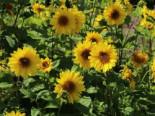 Stauden-Sonnenblume 'Giganteus', Helianthus atrorubens 'Giganteus', Topfware