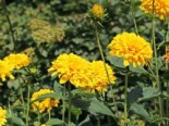 Stauden-Sonnenblume 'Loddon Gold', Helianthus decapetalus 'Loddon Gold', Topfware