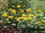 Stauden-Sonnenblume 'Soleil d'Or', Helianthus decapetalus 'Soleil d'Or', Topfware
