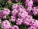 Steintäschel 'Warley Rose', Aethionema armenum 'Warley Rose', Topfware