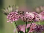 Sterndolde 'Rosea', Astrantia maxima 'Rosea', Topfware