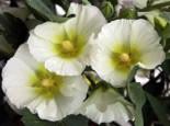 Einfachblühende Stockrose Spotlight-Serie 'Polarstar', Alcea rosea Spotlight-Serie 'Polarstar', Topfware