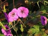 Storchschnabel 'Pink Penny' ®, Geranium wallichianum 'Pink Penny' ®, Topfware