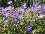 Storchschnabel 'Rozanne' ®, Geranium wallichianum 'Rozanne' ®, Topfware