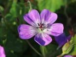 Storchschnabel 'Sylvia's Surprise' ®, Geranium wallichianum 'Sylvia's Surprise' ®, Topfware