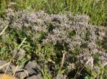 Strandflieder, Limonium vulgare, Topfware