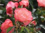 Strauchrose 'Auf die Freundschaft' ®, Rosa 'Auf die Freundschaft' ®, Wurzelware