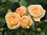 Strauchrose 'Circle of Life' ®, Rosa 'Circle of Life' ®, Containerware
