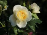 Strauchrose 'Friedenslicht' ®, Rosa 'Friedenslicht' ®, Wurzelware