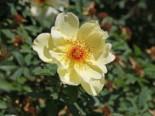 Strauchrose 'Frühlingsgold', Rosa 'Frühlingsgold', Wurzelware