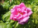 Strauchrose 'Rosa Zwerg', Rosa rugosa 'Rosa Zwerg', Topfware