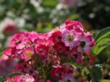Strauchrose 'Rosy Boom' ® (Pink), Rosa 'Rosy Boom' ® (Pink), Containerware