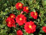 Strauchrose 'Salsa' ®, Stamm 60 cm, Rosa 'Salsa' ® ADR-Rose, Stämmchen