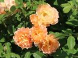 Strauchrose 'Sonnenwelt' ®, Rosa 'Sonnenwelt' ®, Wurzelware