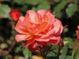 Strauchrose 'Westerland' ®, Rosa 'Westerland' ®, Containerware