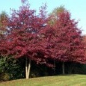 Sumpf-Eiche / Boulevard-Eiche / Spree-Eiche, 40-60 cm, Quercus palustris, Containerware