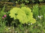 Tafelblatt, Astilboides tabularis, Topfware