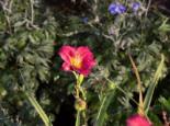 Taglilie 'Stella in Red', Hemerocallis x cultorum 'Stella in Red', Topfware