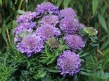 Tauben-Skabiose 'Butterfly Blue', Scabiosa columbaria 'Butterfly Blue', Containerware