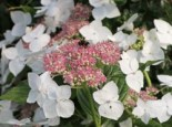 Tellerhortensie 'Teller White' / 'Libelle', 30-40 cm, Hydrangea macrophylla 'Teller White' / 'Libelle', Containerware