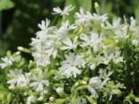 Teppich-Flammenblume 'Snowflake', Phlox subulata 'Snowflake', Topfware