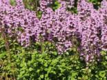 Thymian 'Tabor', Thymus vulgaris 'Tabor', Topfware