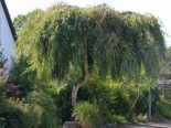 Trauerbirke / Hängebirke / Sandbirke / Weißbirke 'Youngii', Stamm 80 cm, 100-125 cm, Betula pendula 'Youngii', Stämmchen