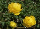 Trollblume 'Lemon Supreme', Trollius x cultorum 'Lemon Supreme', Containerware
