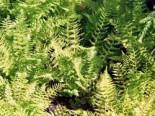 Wald-Frauenfarn, Athyrium filix-femina, Topfware