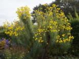 Weidenblättrige Sonnenblume, Helianthus salicifolius, Topfware