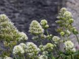 Weißblühende Spornblume 'Albus', Centranthus ruber 'Albus', Topfware