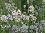 Weißblühender Lavendel 'Arctic Snow', Lavandula angustifolia 'Arctic Snow', Topfware