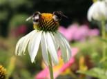 Weißblühender Sonnenhut 'Alba', Echinacea purpurea 'Alba', Containerware