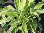 Weißrandige Wellblatt Funkie 'Albomarginata', Hosta undulata 'Albomarginata', Topfware