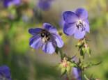 Wiesen-Storchschnabel, Geranium pratense, Topfware