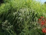 Wiesenknopf 'White Tanna', Sanguisorba officinalis 'White Tanna', Topfware