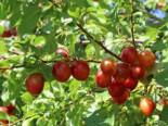 Wildpflaume / Kirschpflaume / Wilde Mirabelle, 60-100 cm, Prunus cerasifera, Containerware