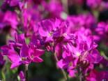 Wimpernblättrige Gänsekresse, Arabis blepharophylla, Topfware
