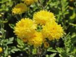 Winteraster 'Friederike', Chrysanthemum x hortorum 'Friederike', Topfware