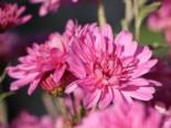 Winteraster 'Schweizerland', Chrysanthemum x hortorum 'Schweizerland', Topfware