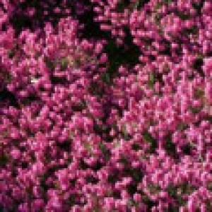 Winterblühende Heide 'Kramer's Rote', 15-20 cm, Erica x darleyensis 'Kramer's Rote', Topfware