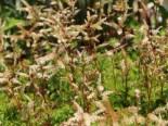 Zwerg-Geißbart, Aruncus aethusifolius, Topfware