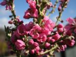 Nektarine (Zwergform), Stamm 30-40 cm, 50-60 cm, Prunus persica var. nucipersica (Zwergform), Containerware