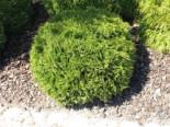 Zwergiger Kugel-Lebensbaum 'Danica', 15-20 cm, Thuja occidentalis 'Danica', Containerware