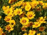 Zwergiges Mädchenauge 'Sterntaler', Coreopsis lanceolata 'Sterntaler', Topfware